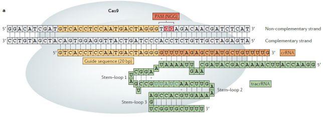 CRISPR - crRNA tracrRNA
