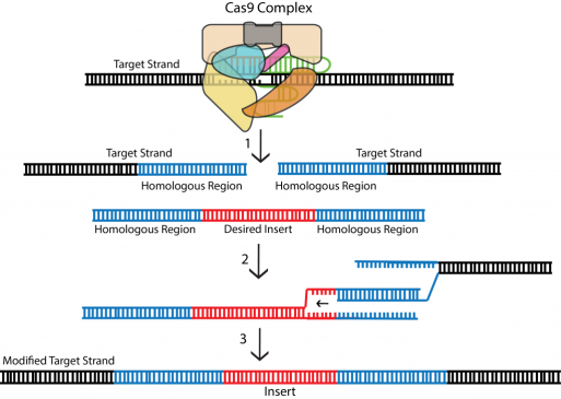 CRISPR - homology directed repair