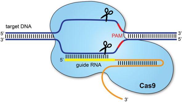 CRISPR - simple overview