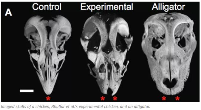 Dino-Chicken-Skulls
