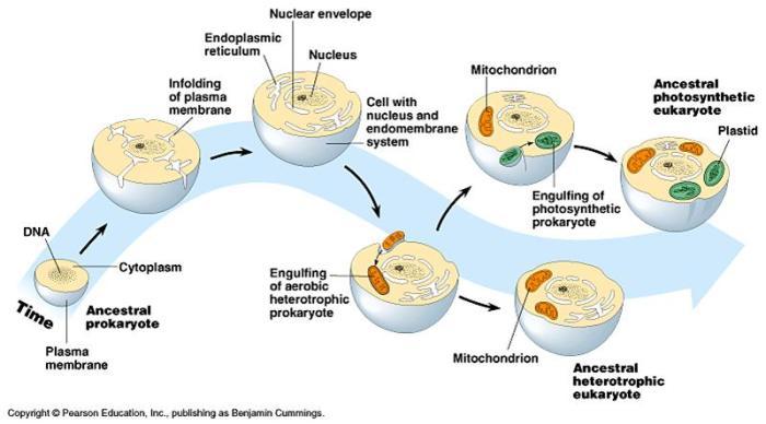 endosymbiosis2