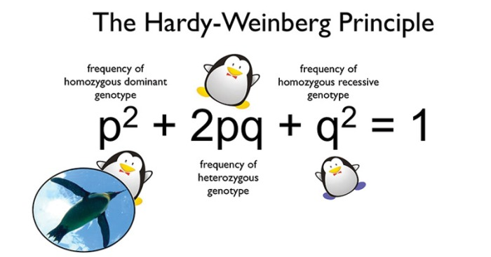Hardy-Weinberg-Equilibrium