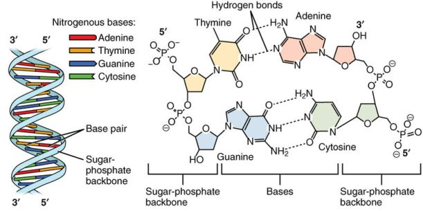 How-Do-the-Nucleotides-in-DNA-Pair-2
