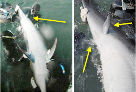 Vestigial - Dolphin