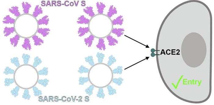 Coronavirus Entry